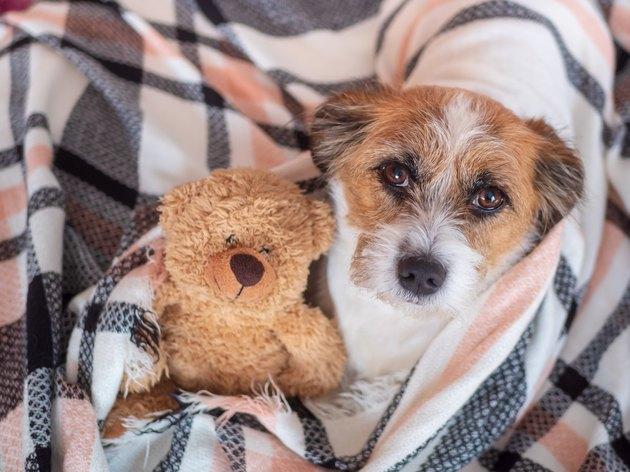 Kleiner Hund mit Teddybär in eine karierte Decke gewickelt, Blick in die Kamera