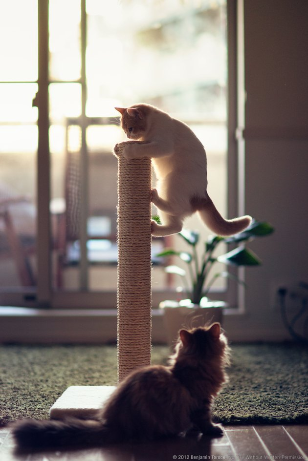 Kittens playing on scratching post