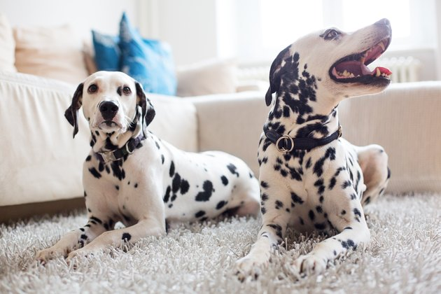 Two Dalmatians relaxing at home