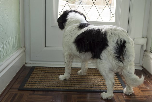 King Charles cavalier waiting at door