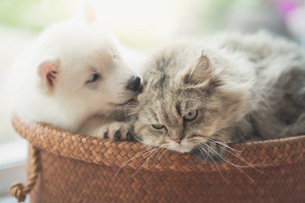 Cute siberian husky and persian cat lying
