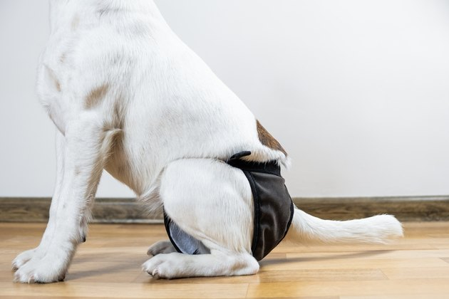 Puppy in washable diaper sits on the floor, close-up view