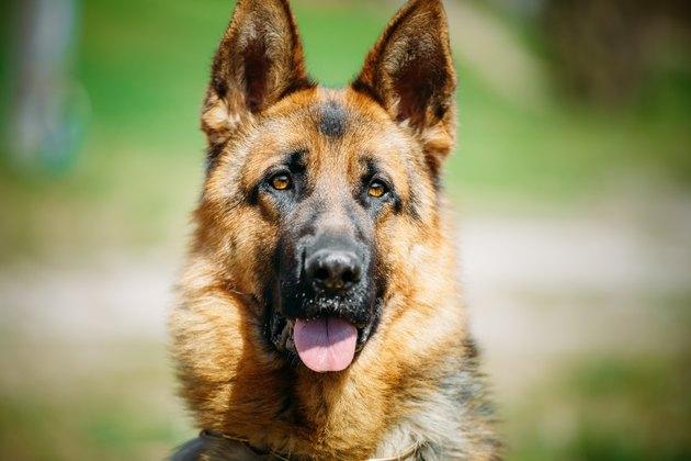 Beautiful Young Brown German Shepherd Dog