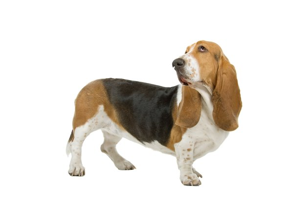 Basset hound sniffing the air on a white background