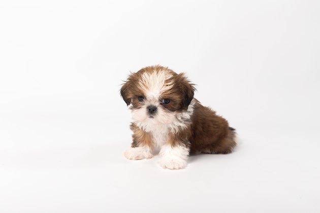 One funny shih-tzu puppy on the white