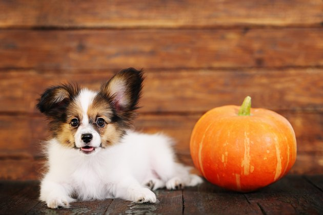 little puppy with pumpkin