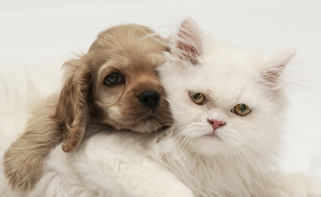 Young purebred Cocker Spaniel and white persian cats on white