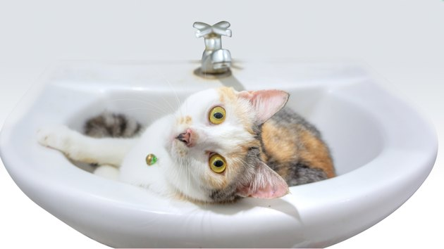 Close up cute calico parti-colour thai cat sitting on a bathroom sink with yellow eyes looking at the camera with suspicion.