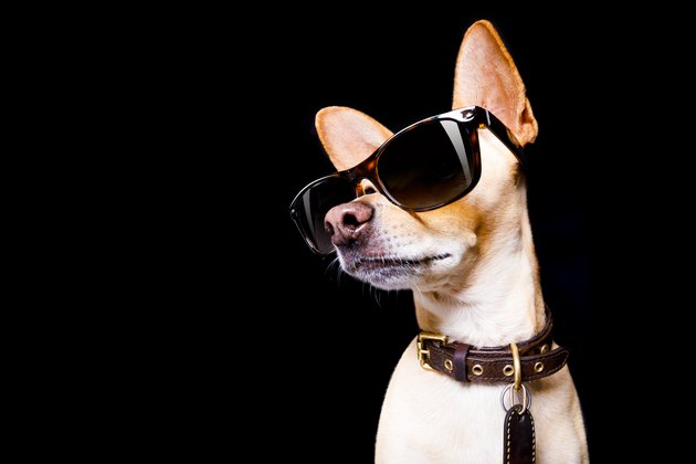posing dog wearing sunglasses