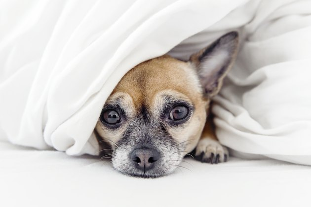 Sad looking Chihuahua dog under blankets