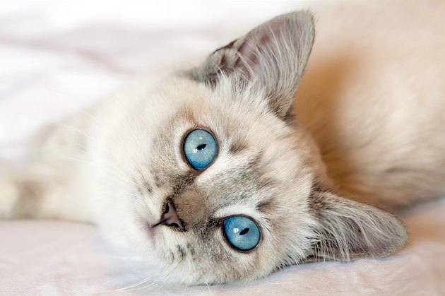 Blue Eyes Kitten