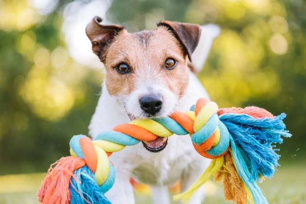 Close up portrait of dog playing fetch with colorful toy rope