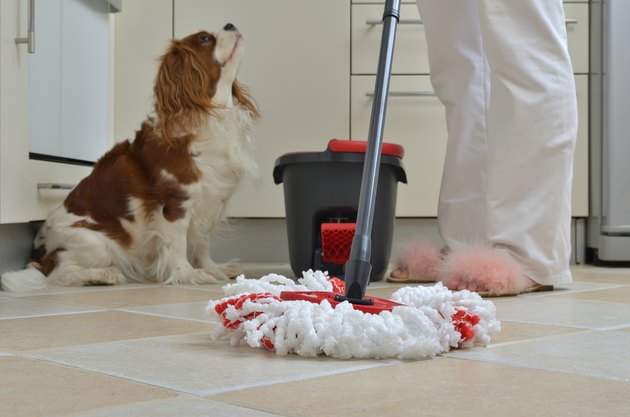 Mop and King Charles Spaniel in a kitchen