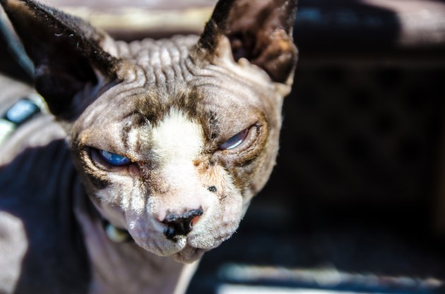 Close up or headshot of hairless sphynx cat with a bad attitude