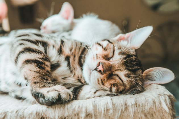 Adorable Kitten Sleeping, Bengal Kitten