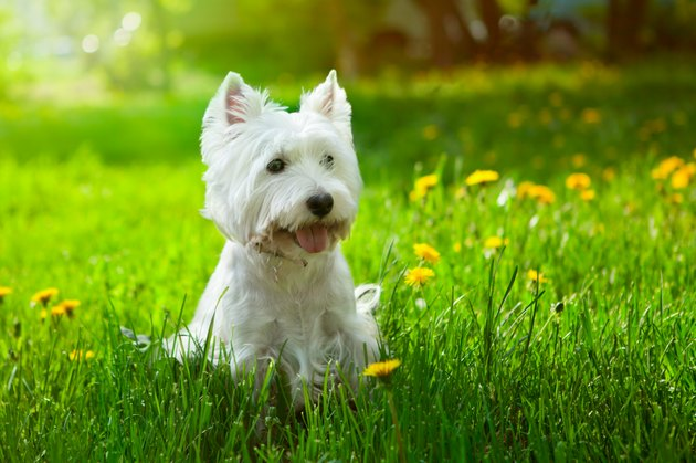 Small Westie in a field of yellow flowers