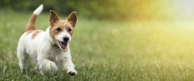 Happy pet dog puppy running in the grass in summer