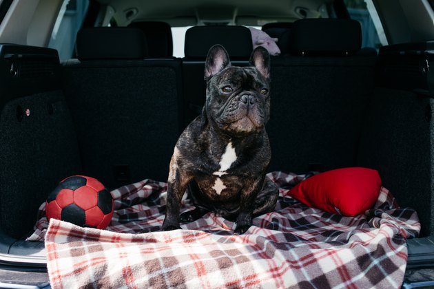 Brindle French bulldog sitting in the trunk of a car