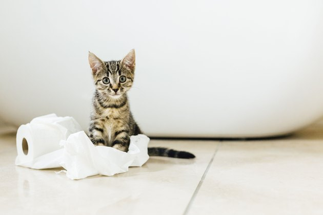Eight week old tortoiseshell kitten playing with toilet roll