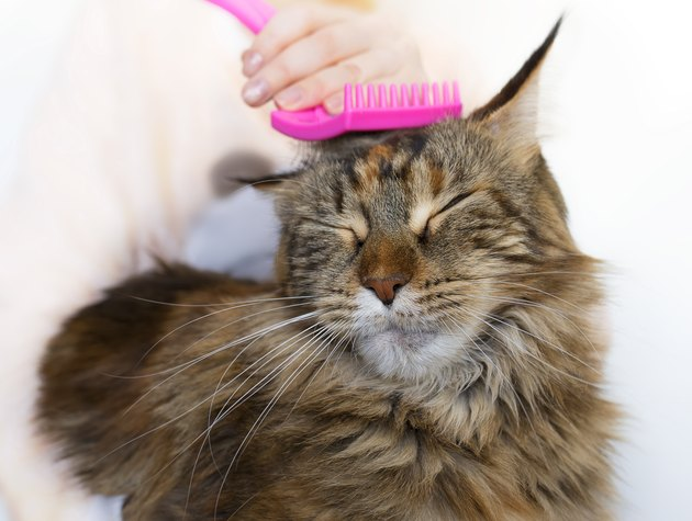 Maine Coon cat being brushed with a pink brush