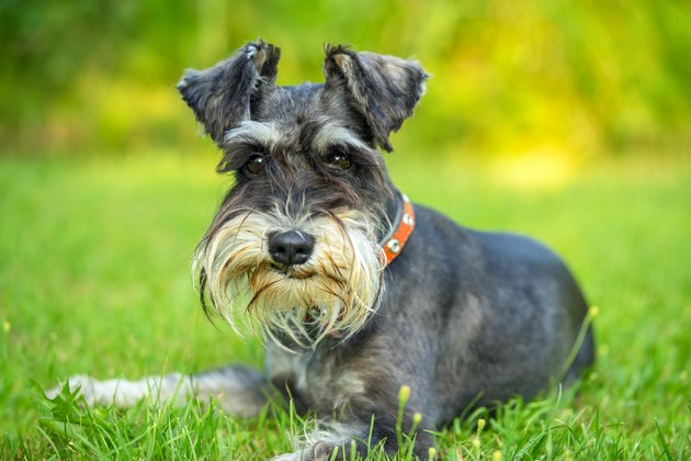 Miniature schnauzer lying on the grass