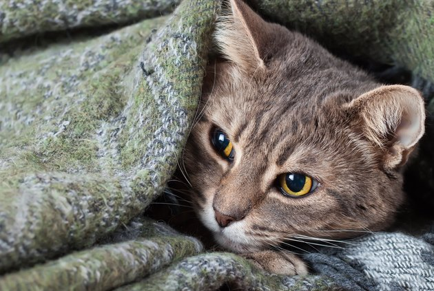 Tabby gray cat resting in a blanket