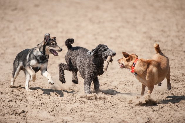 Three dogs running with a stick outside in the dirt.