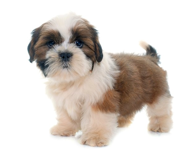 Shih Tzu Puppy Standing Against White Background