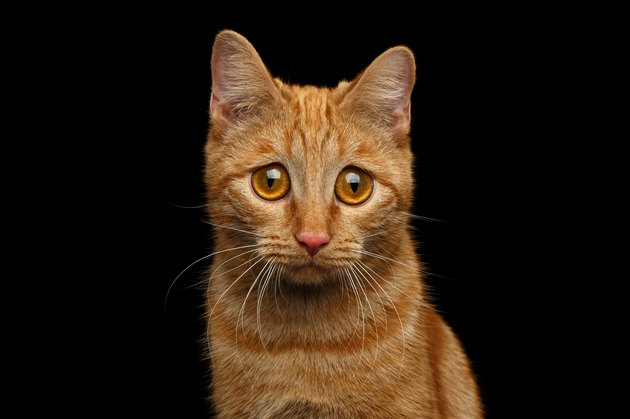Ginger cat on Isolated Black background