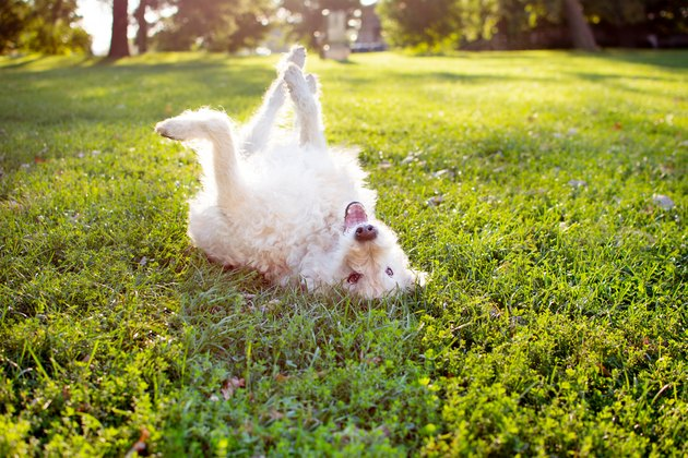 Playful Labradoodle Dog Rolling In Grass