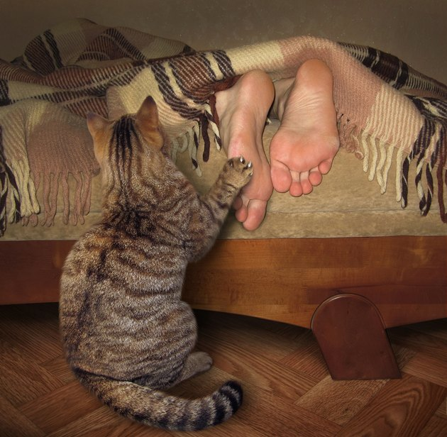 cat waking his owner by pawing his feet