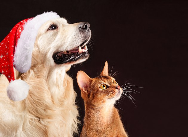 Christmas cat and dog, abyssinian kitten , golden retriever looks at