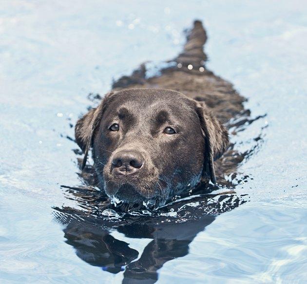 Chocolate Labrador Swimming