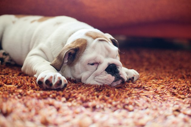 English Bulldog Puppy on carpet