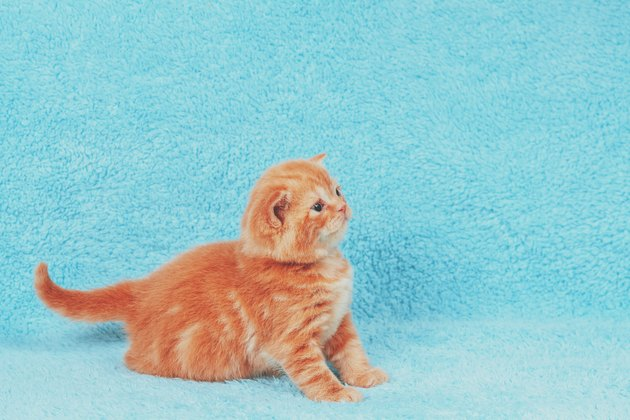 Cute little red little kitten sitting on a blue blanket
