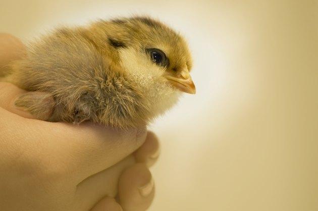 Baby Ameraucana Chick
