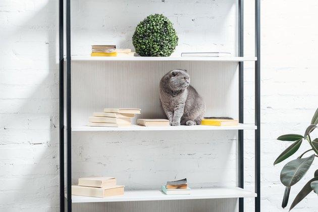 cute scottish fold cat sitting on shelving unit on white