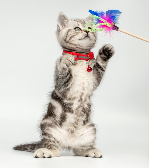 Pretty kitten (british shorthair) playing with a cat's toy