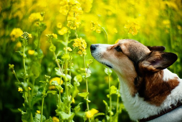 dog smelling yellow flowers
