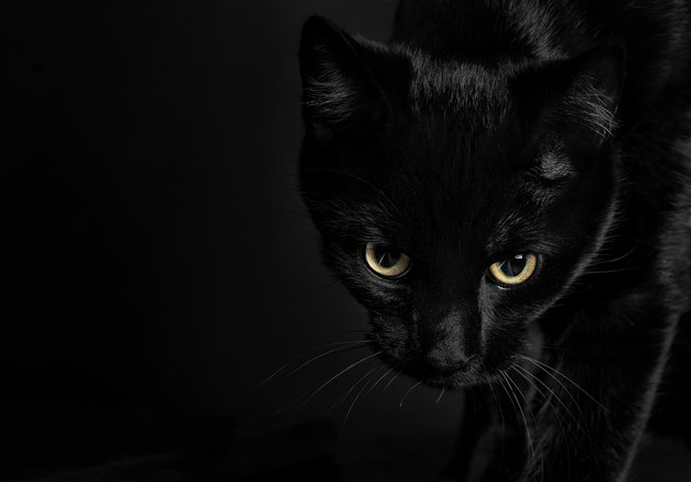 Beautiful black cat with intense look amd shiny yellow eyes on black background
