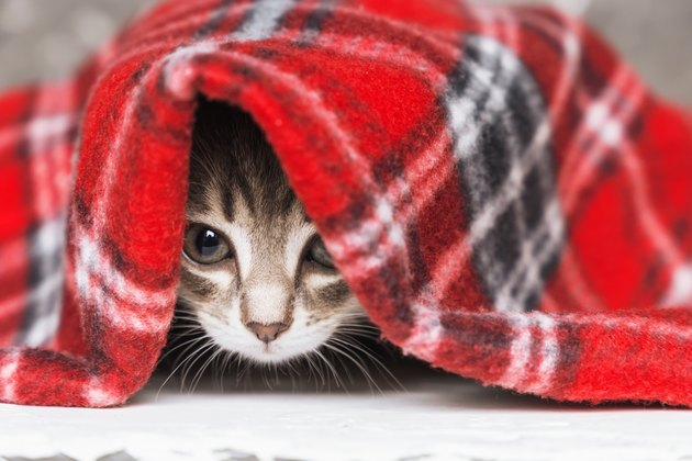 Cute little kitten looks out from under red warm plaid, close up