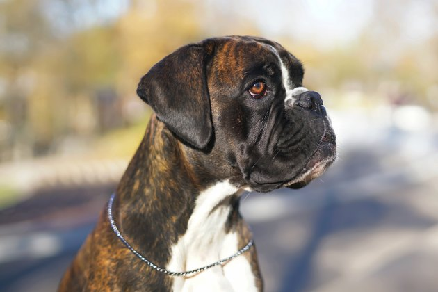 The portrait of a brindle Boxer dog with natural ears and a chain collar posing outdoors in autumn