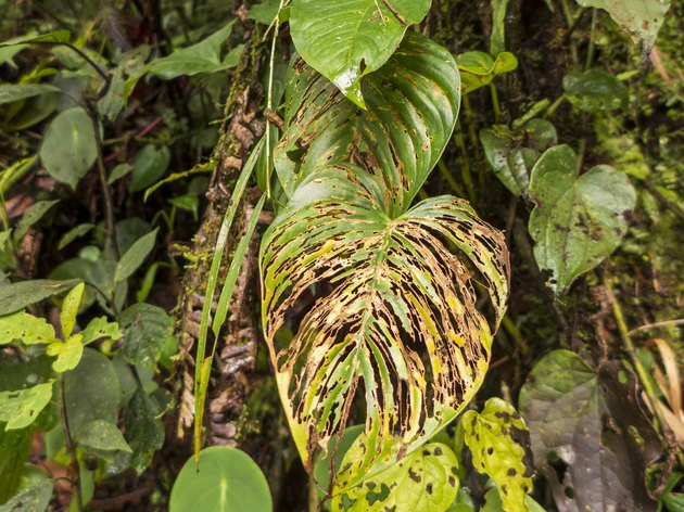 large plant leaves in the rainforest of Costa Rica