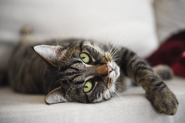 tabby cat relaxed on the sofa looks at the camera