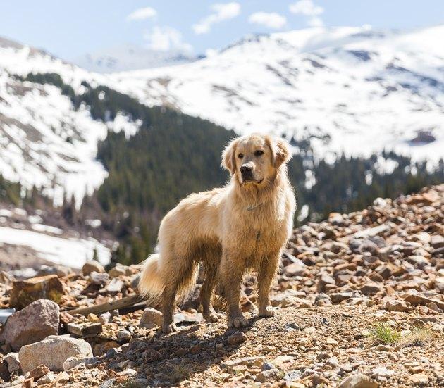 Labrador Retriever Dog in Colorado Mountains