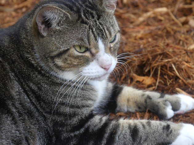 Photos of polydactyl cats at Hemingway house, Key West