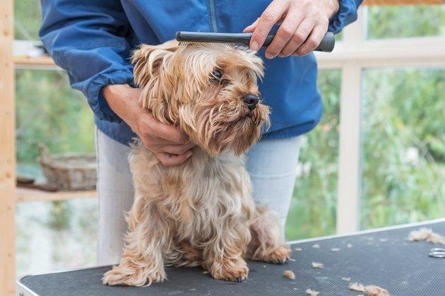 Grooming Yorkshire terrier