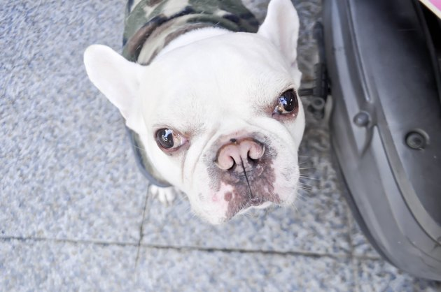 French bulldog looking to the camera