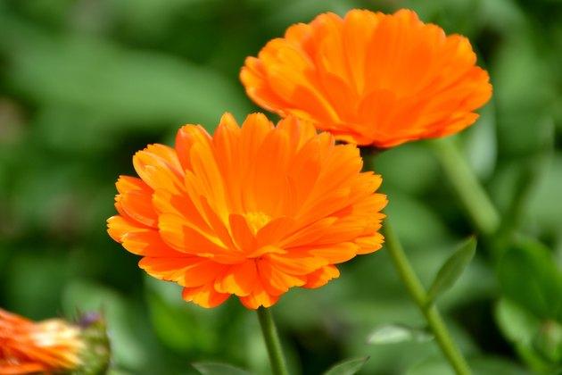 Close-Up Of Orange Field Marigold Flower