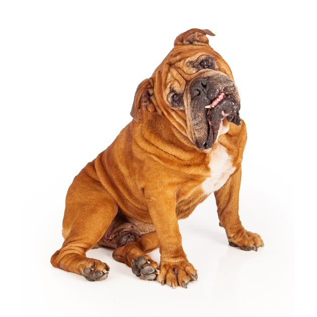 Bulldog sitting with tilted head